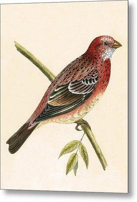 Rosy Bullfinch Metal Print by English School