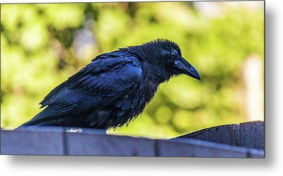 Metal Print featuring the photograph Rough Crow  by Jonny D