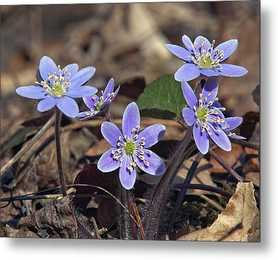 Round-lobed Hepatica Dspf116 Metal Print
