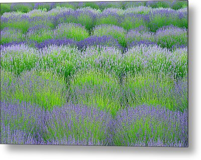 Rows Of Lavender Metal Print by Hegde Photos