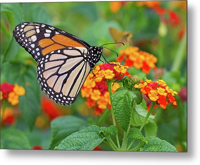 Royal Butterfly Metal Print by Shelley Neff