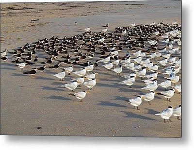Royal Terns At Sebastian Inlet In Florida Metal Print by Allan  Hughes