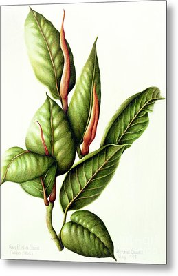 Rubber Plant Metal Print by Annabel Barrett
