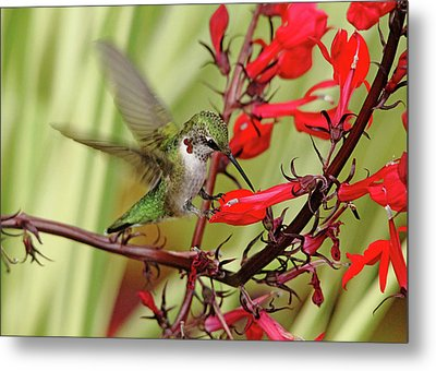 Ruby And Scarlet Metal Print by Debbie Oppermann