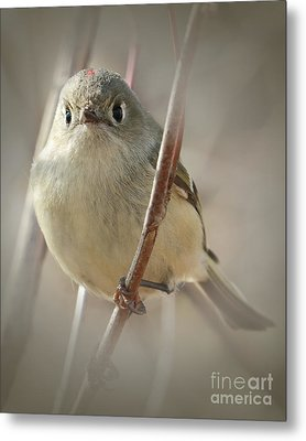 Ruby-crowned Cuteness Metal Print