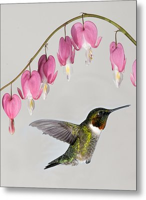 Metal Print featuring the photograph Ruby-throated Hummingbird With Bleeding Hearts by Lara Ellis