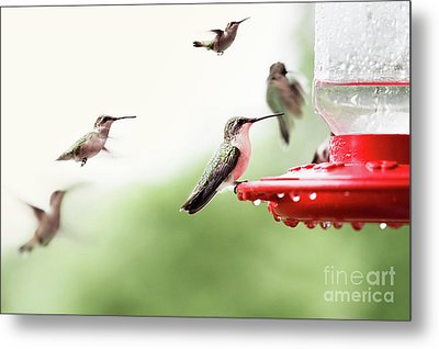 Metal Print featuring the photograph Ruby-throated Hummingbirds by Stephanie Frey