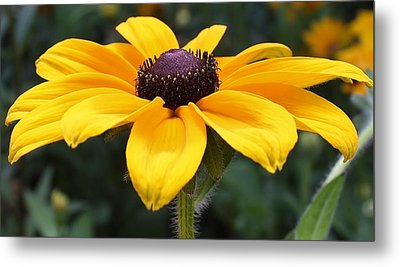 Rudbeckia Bloom Up Close Metal Print by Bruce Bley