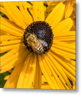 Rudbeckia With Bee Metal Print