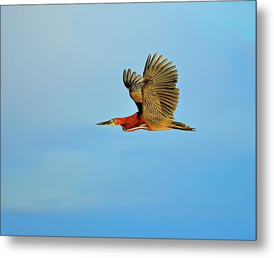 Rufescent Metal Print by Tony Beck