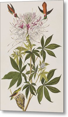 Ruff-necked Hummingbird Metal Print by John James Audubon