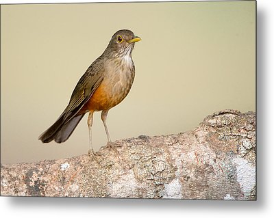 Rufous-bellied Thrush Turdus Metal Print by Panoramic Images