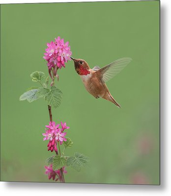 Metal Print featuring the photograph Rufous Hummingbird Enjoying Sweet Nectar by Angie Vogel