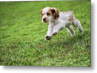 Running Cocker Spaniel Puppy Metal Print by Dan Sproul