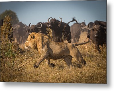 Running For His Life Metal Print by Marc Meijlaers