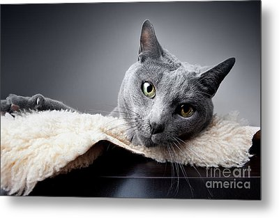 Russian Blue Cat Metal Print by Nailia Schwarz