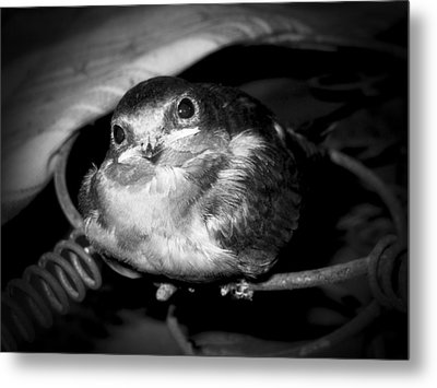 Rusted Perch - Baby Barn Swallow  Metal Print by Christena Stephens