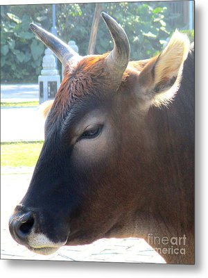 Metal Print featuring the photograph Sacred Cow 4 by Randall Weidner