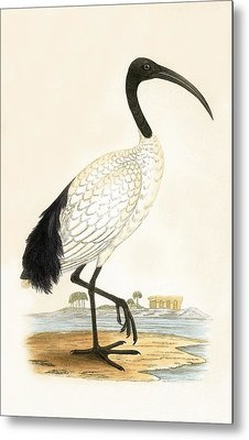 Sacred Ibis Metal Print by English School