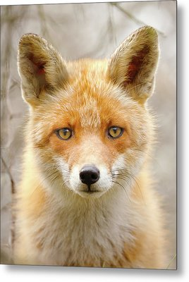 Sad Eyed Fox Of The Lowlands - Red Fox Portrait Metal Print by Roeselien Raimond