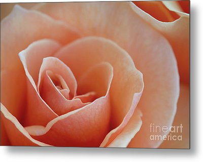Sahara Light Tan Cream Rose Metal Print by David Zanzinger