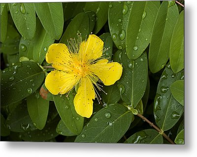 Saint Johns Wort Flower And Foliage Metal Print by Todd Gipstein