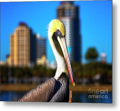 Saint Petersburg Pelican Metal Print by Stephanie Hayes