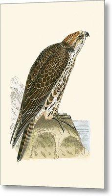 Saker Falcon Metal Print by English School