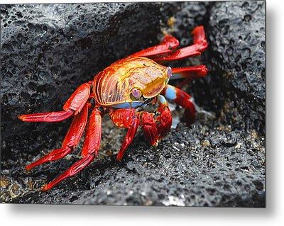 Sally Lightfoot Crab Metal Print by Alan Lenk