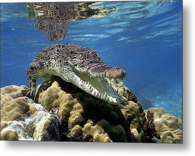 Saltwater Crocodile Smile Metal Print