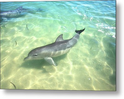 Metal Print featuring the photograph Samu 1 , Monkey Mia, Shark Bay by Dave Catley