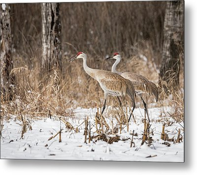 Metal Print featuring the photograph Sandhill Crane 2016-4 by Thomas Young
