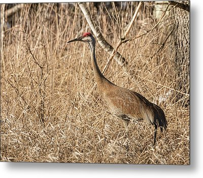 Metal Print featuring the photograph Sandhill Crane 2016-7 by Thomas Young