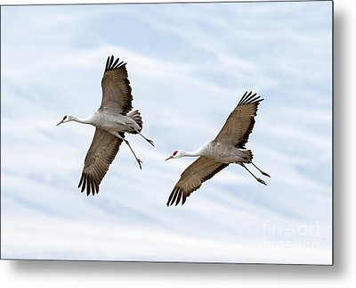 Sandhill Crane Approach Metal Print by Mike Dawson