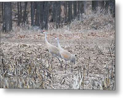 Metal Print featuring the photograph Sandhill Cranes 1171 by Michael Peychich