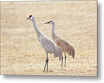 Metal Print featuring the photograph Sandhill Cranes Of Montana by Jennie Marie Schell
