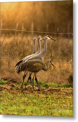 Metal Print featuring the photograph Sandhill Cranes Texas Fence-line by Robert Frederick
