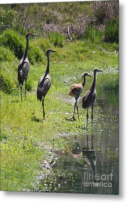 Sandhill Family By The Pond Metal Print by Carol Groenen