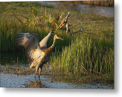 Metal Print featuring the photograph Sandhill Stretches by Lynda Dawson-Youngclaus