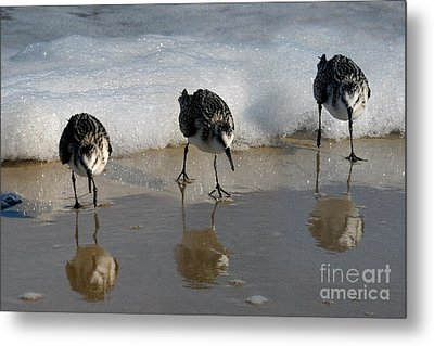 Sandpipers Feeding Metal Print by Dan Friend