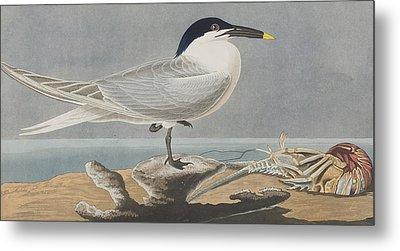 Sandwich Tern Metal Print by John James Audubon