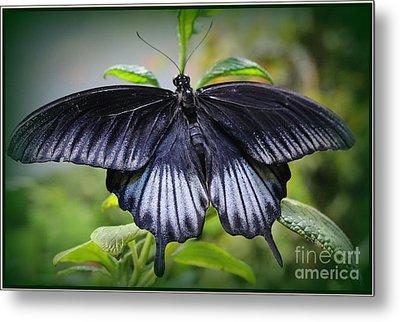 Sapphire Blue Swallowtail Butterfly Metal Print