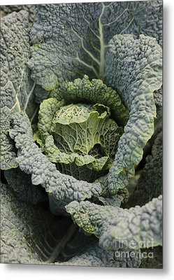 Savoy Cabbage In The Vegetable Garden Metal Print by Carol Groenen