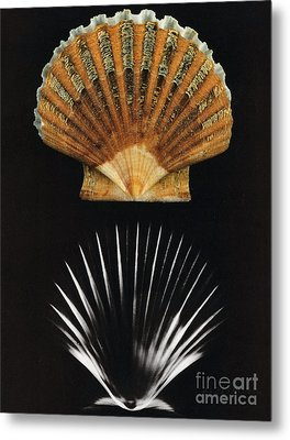 Scallop Shell X-ray Metal Print by Photo Researchers