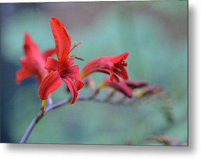 Scarlet Blooms Metal Print by Janet Rockburn
