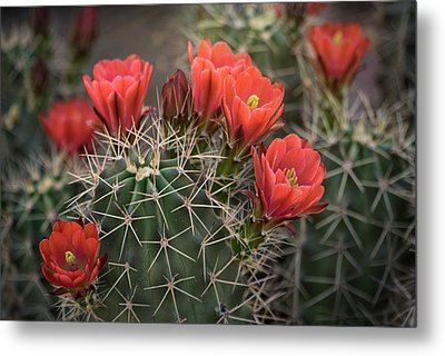 Metal Print featuring the photograph Scarlet Hedgehog Cactus  by Saija Lehtonen