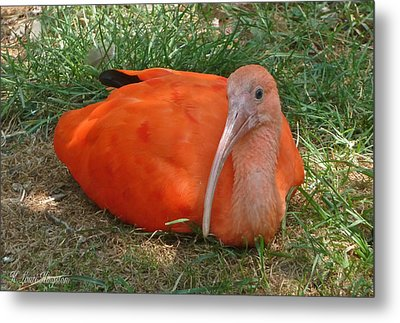Scarlet Ibis Youth Metal Print by K L Kingston