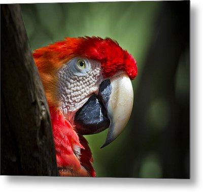 Scarlet Macaw Metal Print by Roger Wedegis
