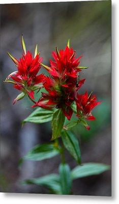 Scarlet Red Indian Paintbrush Metal Print