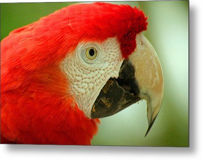 Scarlett Macaw South America Metal Print by Ralph A  Ledergerber-Photography